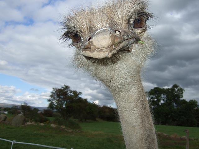 Ферма по разведению страусов