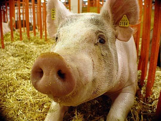Продам свиноферму, действующий свинокомплекс под Черкассами