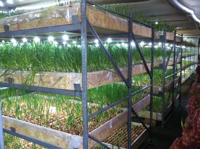 Выращивание зеленых на гидропонике 424