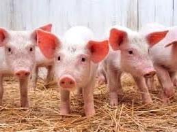 Продажа свинокомплекса