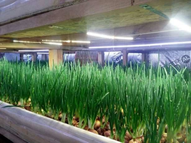 Прибыльный бизнес по отличной цене: выращивание зелени