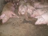 Продается свиноферма в Ровенской области