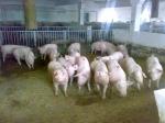 действующая свиноферма (Винница)