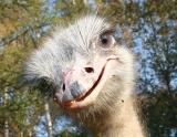 Действующая страусиная ферма