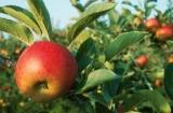 Продажа яблоневого сада, Крым.