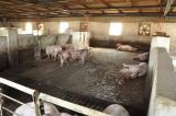 Действующая свиноферма