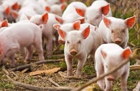 Продажа свинокомплексов в Украине: что происходит со свиноводческим бизнесом