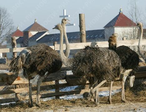 Выращивание страусов - плюсы и минусы бизнеса