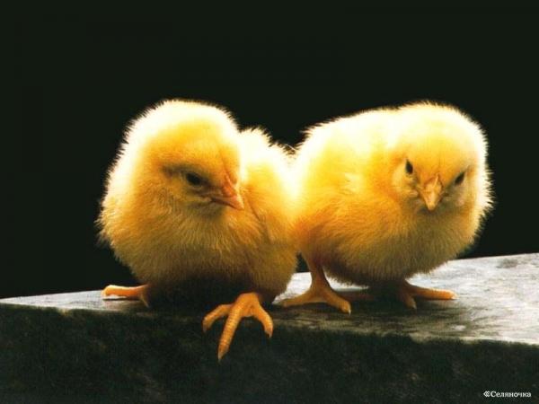 Бизнес на разведение птиц: перспективы 2011 года.