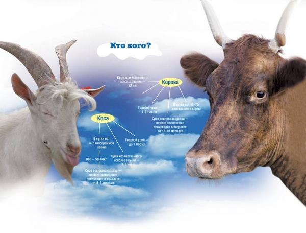Производство козьего молока - перспективный бизнес